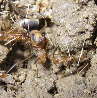 Queen of the yellow crazy ant, Anoplolepis gracilipes