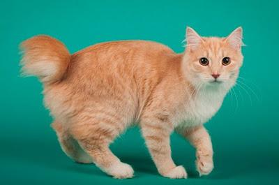 Karakter Ras Kucing Karelian Bobtail