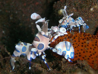 Harlequin shrimp ocean