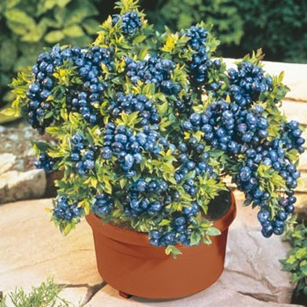 Jaminan Mutu! 25 biji benih bonsai buah blueberry blue berry Kota Bandung #bibit buah genjah termurah