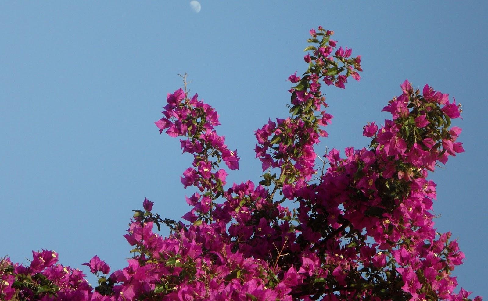 jenis-jenis bunga bougenville
