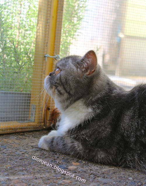 Popoki the cat watching birds in her catio