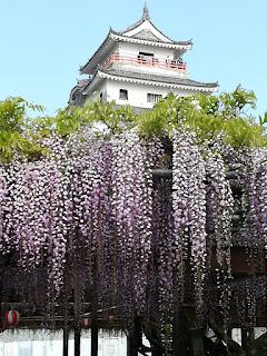 唐津城、紫藤花 Karatsu Castle, Whisteria