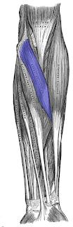 pronatar tere muscles -by  www.learningwayeasy.com