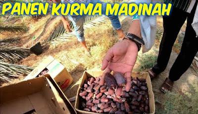 Panen buah kurma di Madinah
