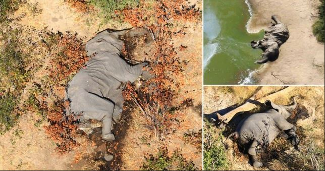 Panic As 350 Elephants Die Mysteriously In Botswana #Arewapublisize