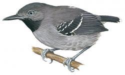 Hypocnemoides maculicauda