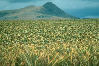 eSwatini, Swaziland, pineapple field, Africa
