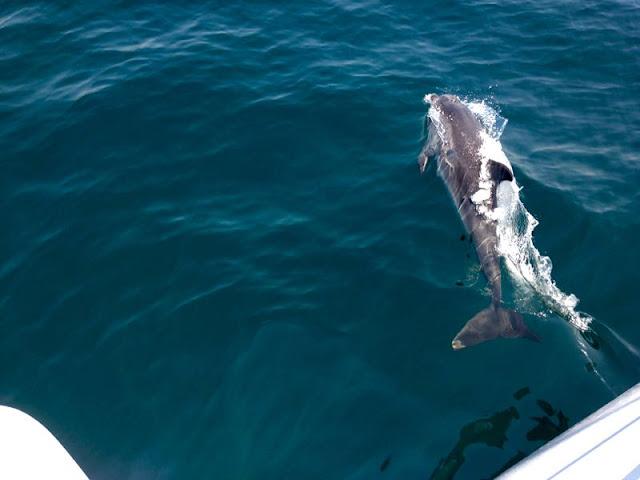 Dolphins, Atlantic Ocean