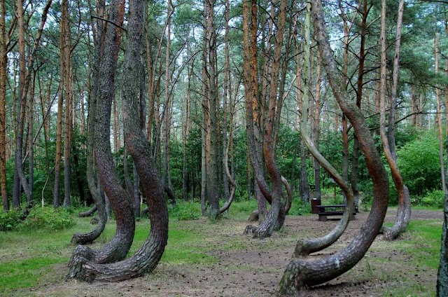 Mysterious angled trees in Crooked Forest