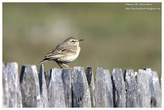 https://bioclicetphotos.blogspot.fr/search/label/Pipit%20rousseline%20-%20Anthus%20campestris