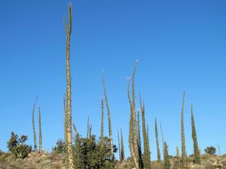 Pohon Unik Boojum Tree California USA