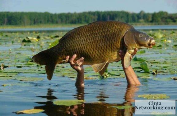Resep Cara Membuat Umpan Ikan Mas Dengan Mudah Terbaru - Cintanetworking.com