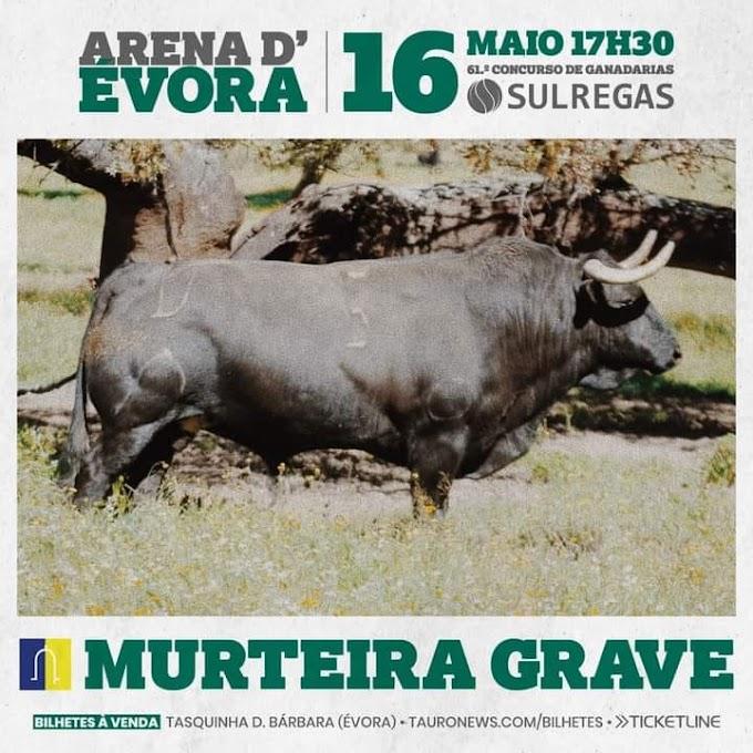 O toiro de Murteira Grave para o Concurso de Ganadarias em Évora
