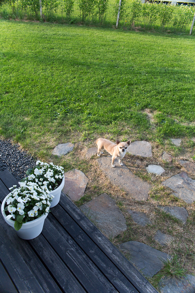 piha & puutarha, Villa H, puutarha, chihuahua, koira,