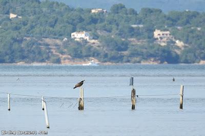 Àguila pescadora aturada