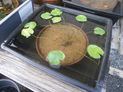 熱帯スイレン(睡蓮) 植え付け