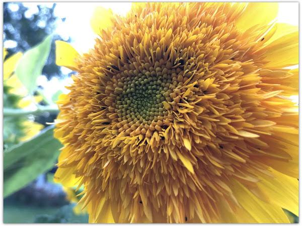 The Amazing Giant Teddy Sunflower Plus More Autumn Decor Inspiration