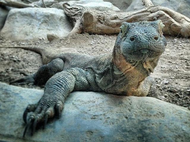 What Komodo Dragon Do