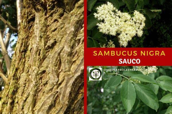 Sambucus nigra, nombre científico del Sauco, arbusto de la familia Caprifoliáceas.