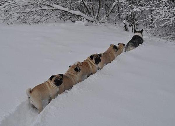 bc7765b59fcbc4f29a8954a33501e5a7--snow-plow-sled-dogs.jpg