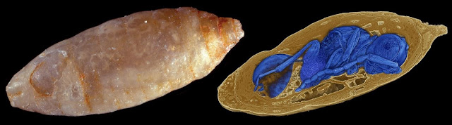 Parasites discovered in fossil fly pupae