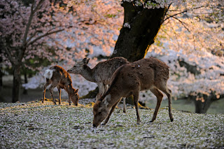 Cherry Blossoms and Deer in Nara