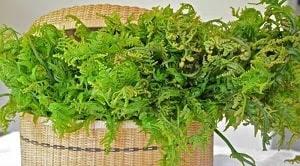Kelakai merupakan tanaman khas rawa gambut yang banyak didapat hampir di seluruh wilayah Kalimantan Tengah. Kelakai dapat ditemukan dalam kehidupan sehari-hari dan banyak dikonsumsi masyarakat Dayak. Ada banyak kandungan yang dimiliki oleh tanaman kelakai  ini di antaranya adalah flavonoid, steroid, dan alkaloid. Senyawa kelakai, senyawa kelakai di dalam Hutan, Kelakai penghasil senyawa bioaktif, pengertian kelakai, tumbuhan kelakai khas kalimantan, pengaruh senyawa kelakai, zat kelakai.
