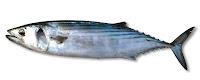 Palamut Balığı, Balık
