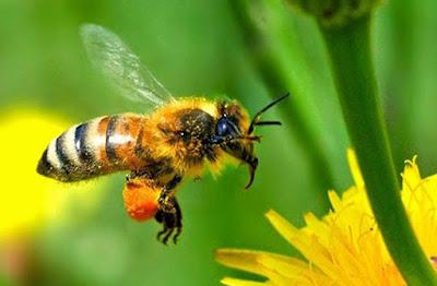 7 Obat Alami untuk Mengobati Sengatan Lebah