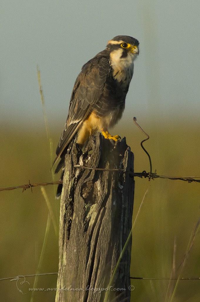 Halcón plomizo (Aplomado falcon) Falco femoralis