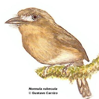aves de Misiones Chacurú chico Nonnula rubecula