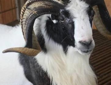 Ciri- Ciri Domba Garut Jantan Tipe Tangkas
