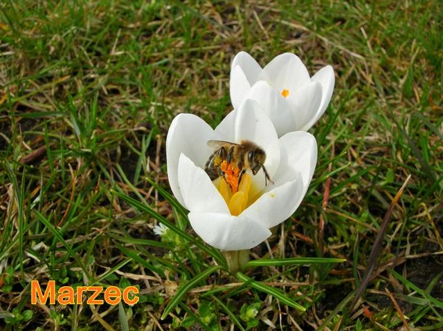 białe krokusy i pszczoła