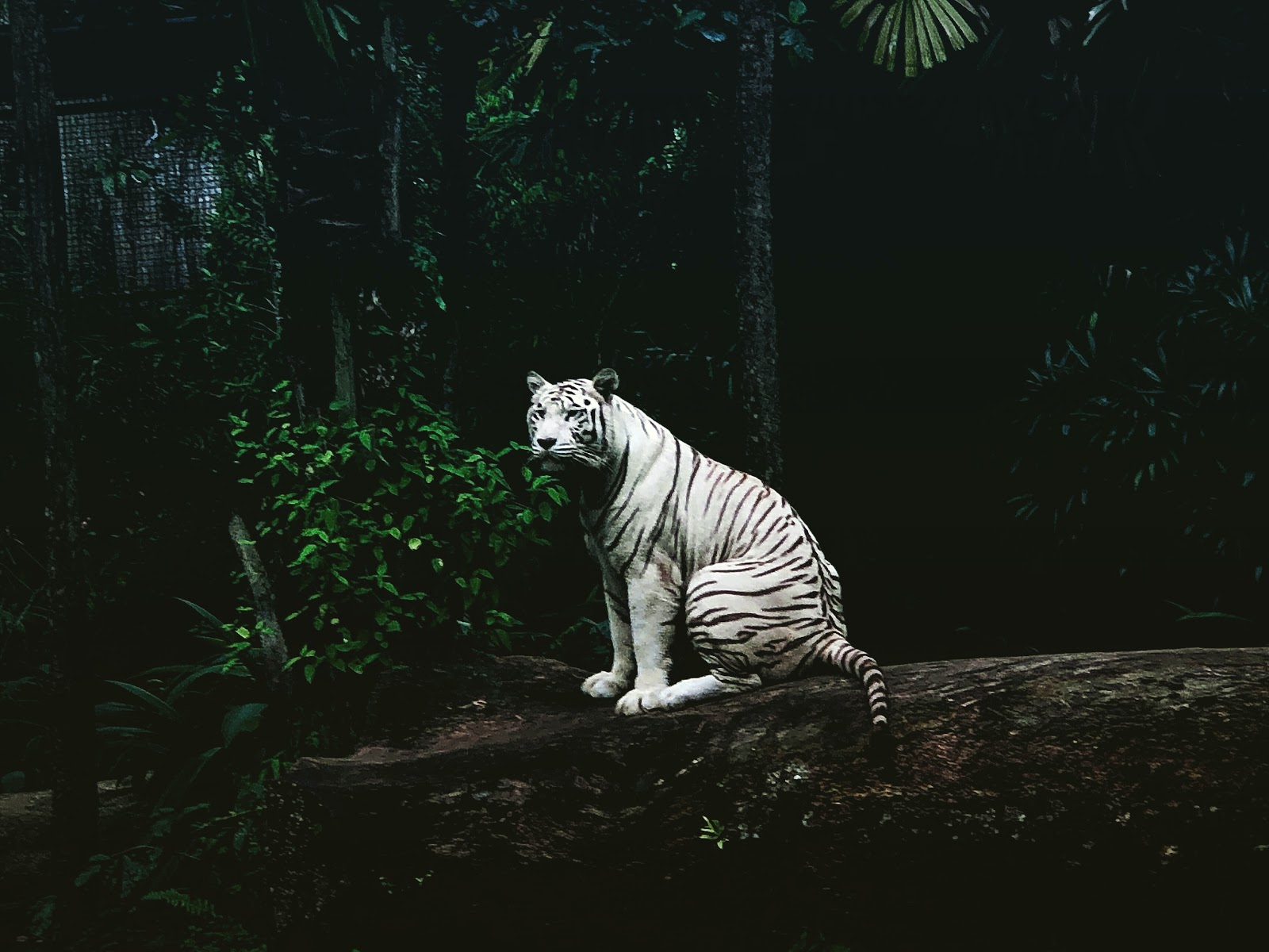 white-tiger-on-rock-pictures