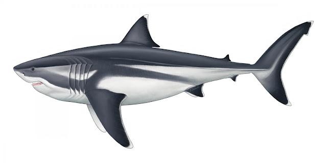 Madhësia e vërtetë e mega-peshkaqenit prehistorik u zbulua më në fund