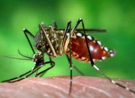 O mosquito Aedes aegypti transmite zika vírus, dengue, chikungunya, febre amarela...