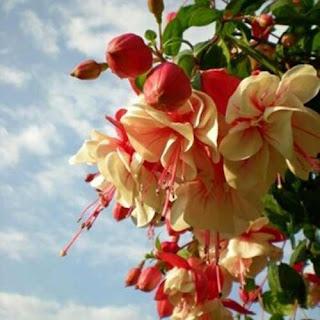 Possui muitas variedades, sendo que tanto pétalas, quanto sépalas podem ser de cores e de formas  diferentes. As cores mais comuns são vermelho, rosa, azul, violeta e branco, com diversas combinações, sem mesclas. A ramagem é pendente, mas pode haver variações, com plantas mais eretas e outras mais pendentes. O porte também varia entre as cultivares, de forma que há formas arbustivas e outras de porte herbáceo.