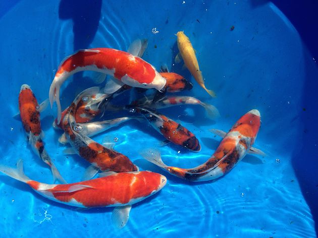 penyakit White Spot (Icht) ikan koi