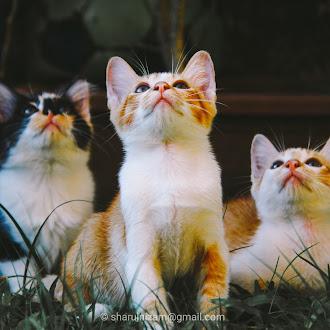 19 Keping Gambar Anak Kucing Yang Comel Lagi Imut