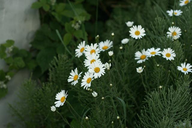 daisies, wild flowers, Galway, Ireland