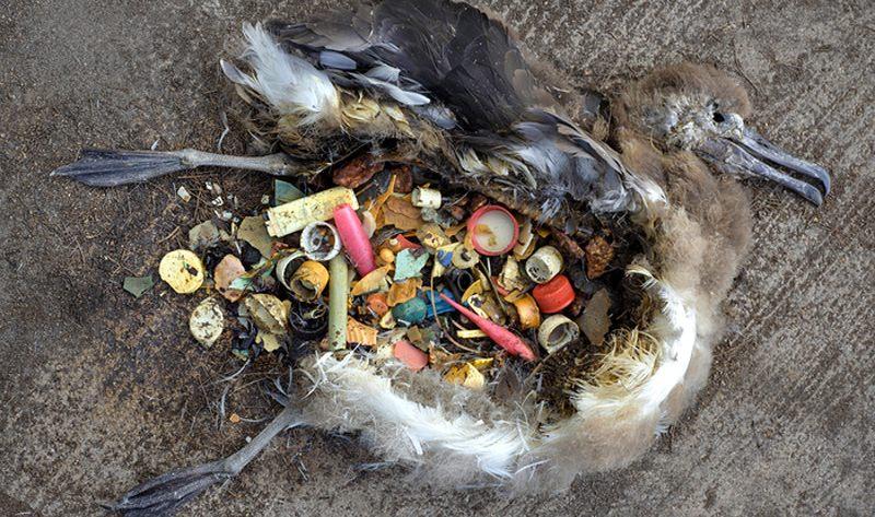 cria de albatroz com detritos plásticos no estômago