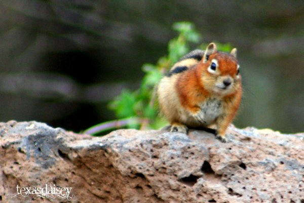 Closeup photo of Chipmunk on rock