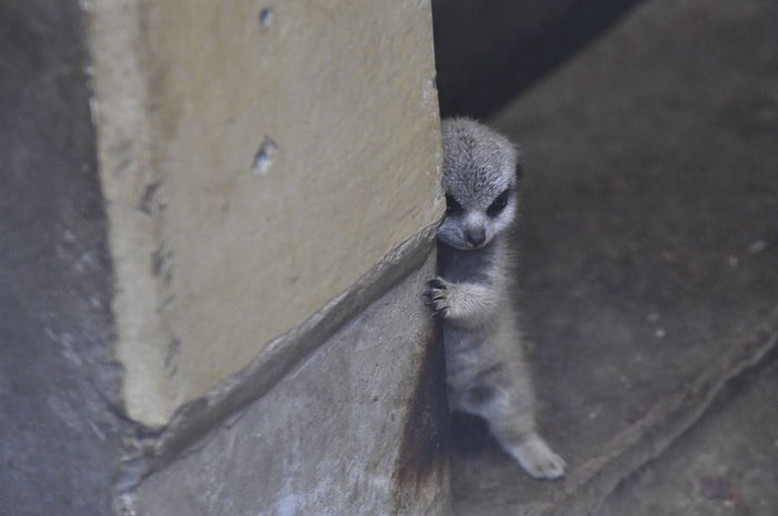Photographer Captures A Shy-At-First Baby Meerkat Pics