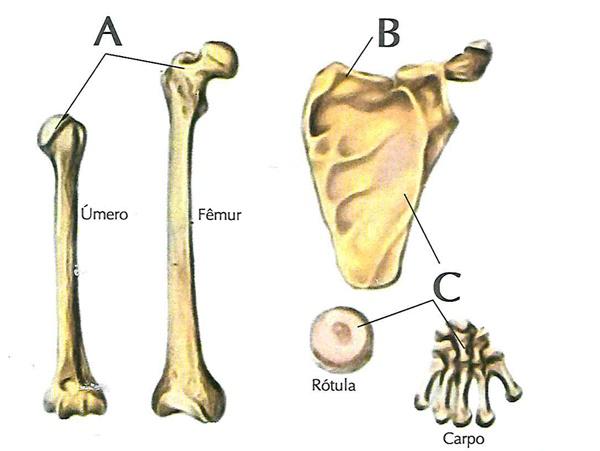 Classifique os tipos de ossos associando a letra correspondente