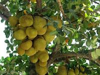 Jackfruit - Katahal - Artocarpus heterophyllus
