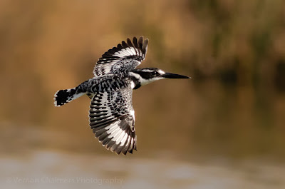 Pied Kingfisher in flight in the Table Bay Nature Reserve