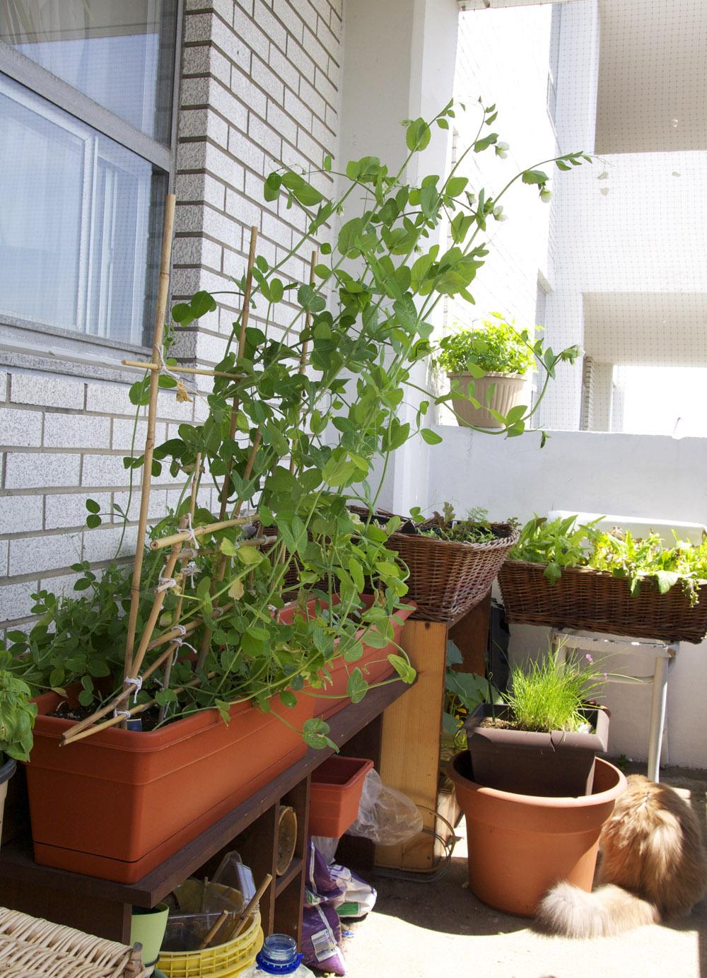 Toronto Balcony Gardening: Hand-made Bamboo Trellis Still ...
