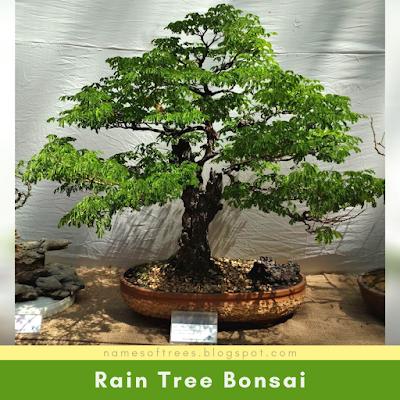 Rain Tree Bonsai