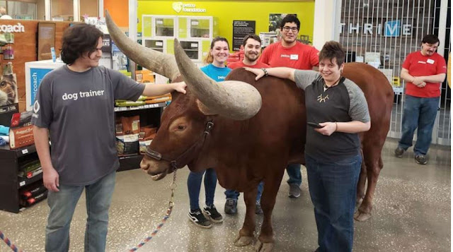 Texas man brings steer to Petco to test 'all leashed pets are welcome' policy